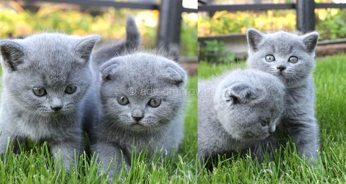 фотографии шотландских вислоухих кошек скоттиш-фолдов